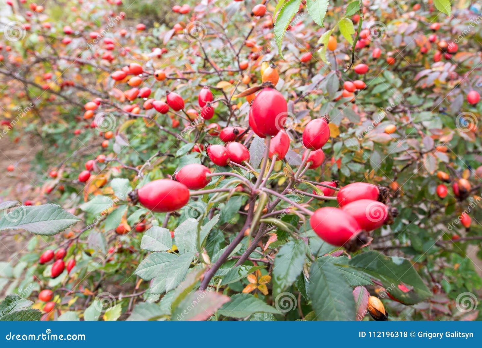 野蔷薇,野生玫瑰果灌木本质上,秋天,维生素