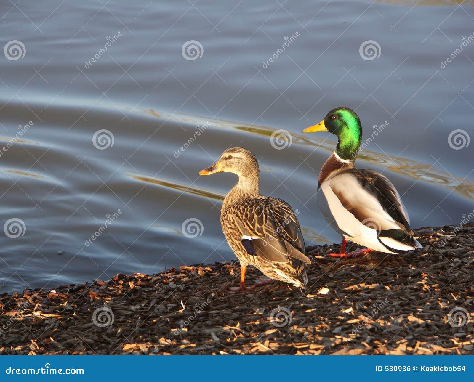 Download 野鸭晒黑 库存照片. 图片 包括有 女性, 雄鸭, 本质, 湖边, 水鸟, 河岸, 鸭子, 鸟的监视人的, 池塘 - 530936