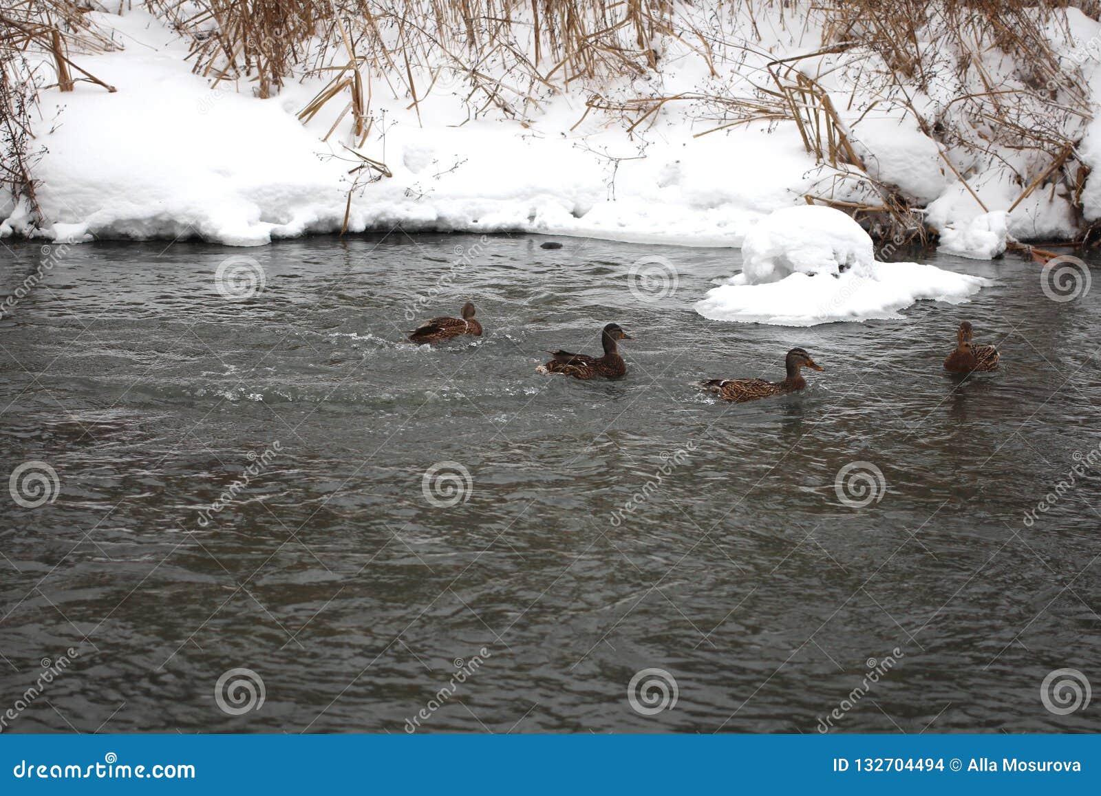 野鸭群在春天河游泳
