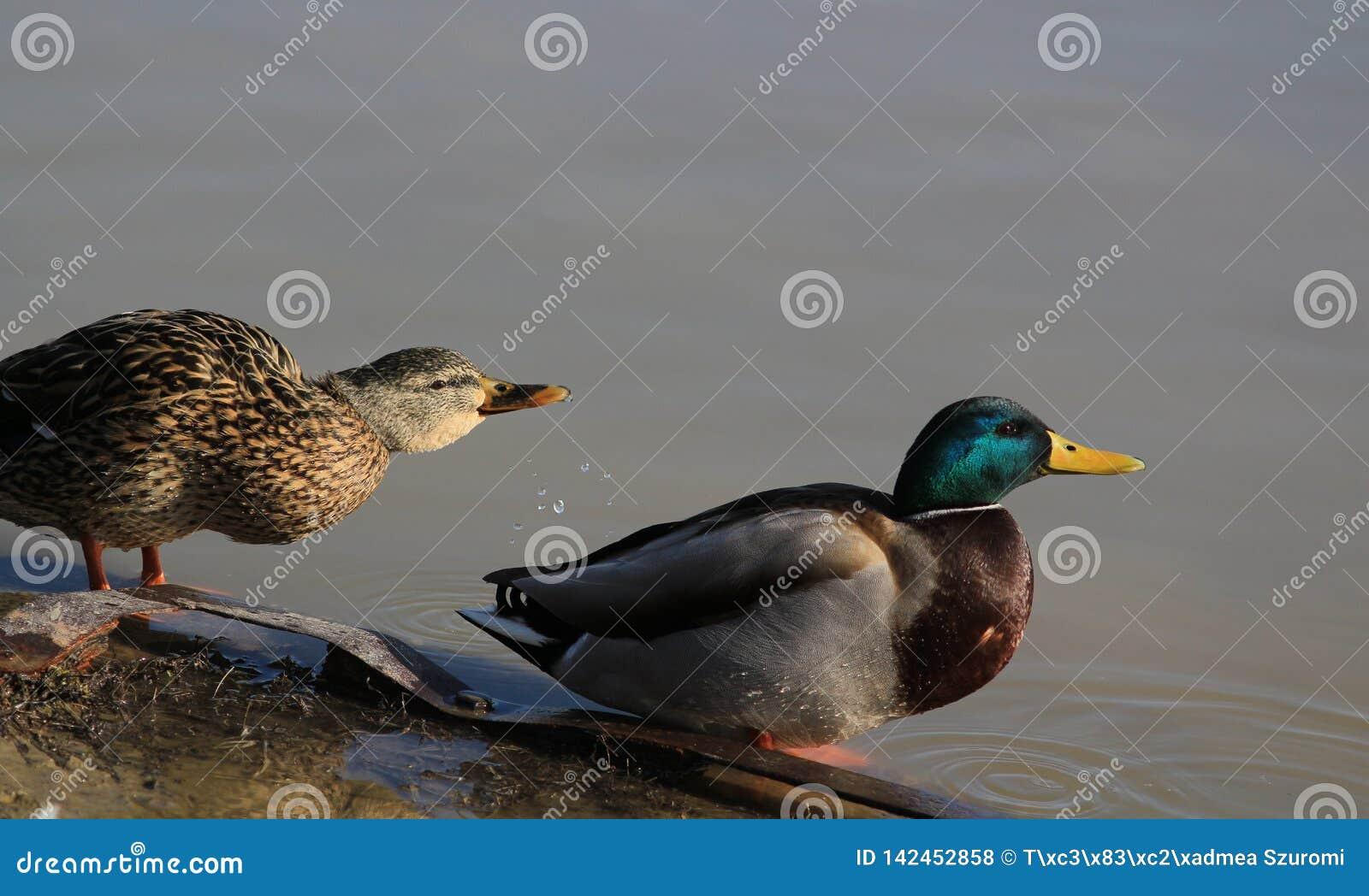 野鸭鸭子夫妇