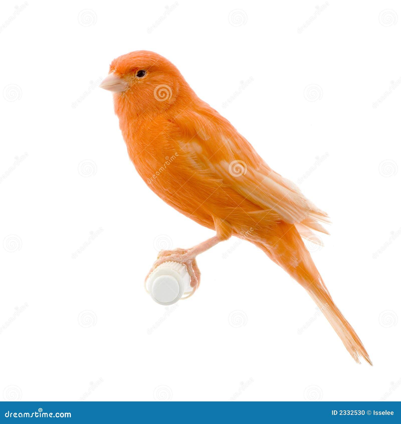 金丝雀其栖息处红色
