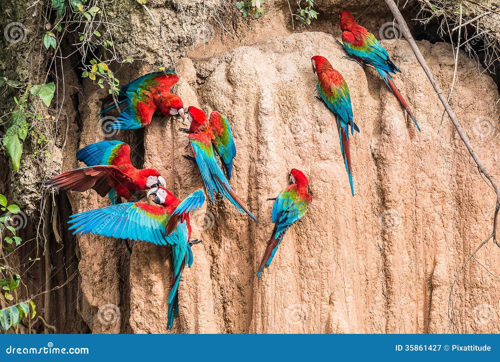 金刚鹦鹉黏土舔秘鲁亚马逊密林马德雷德迪奥斯秘鲁