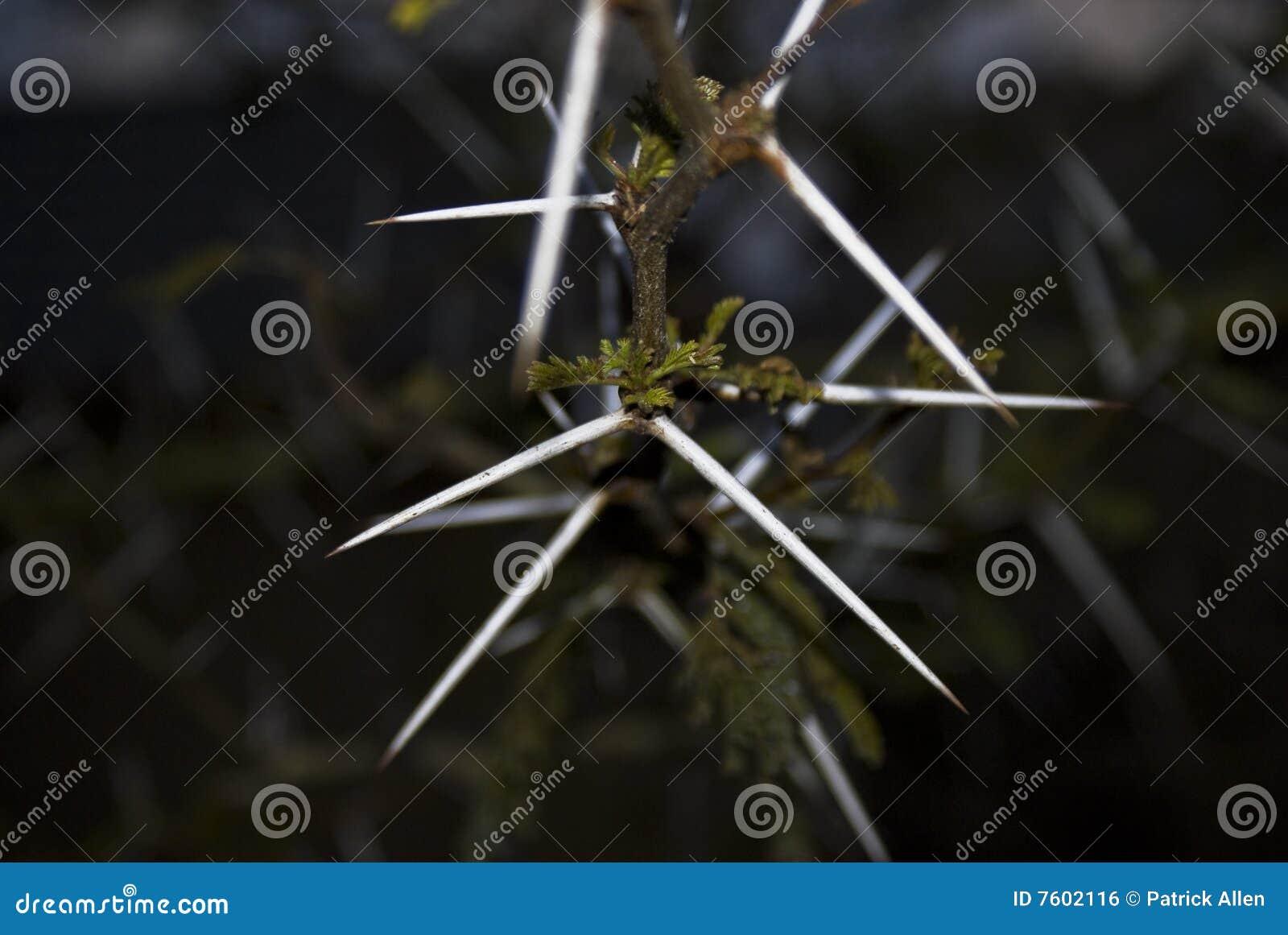 金合欢刺结构树
