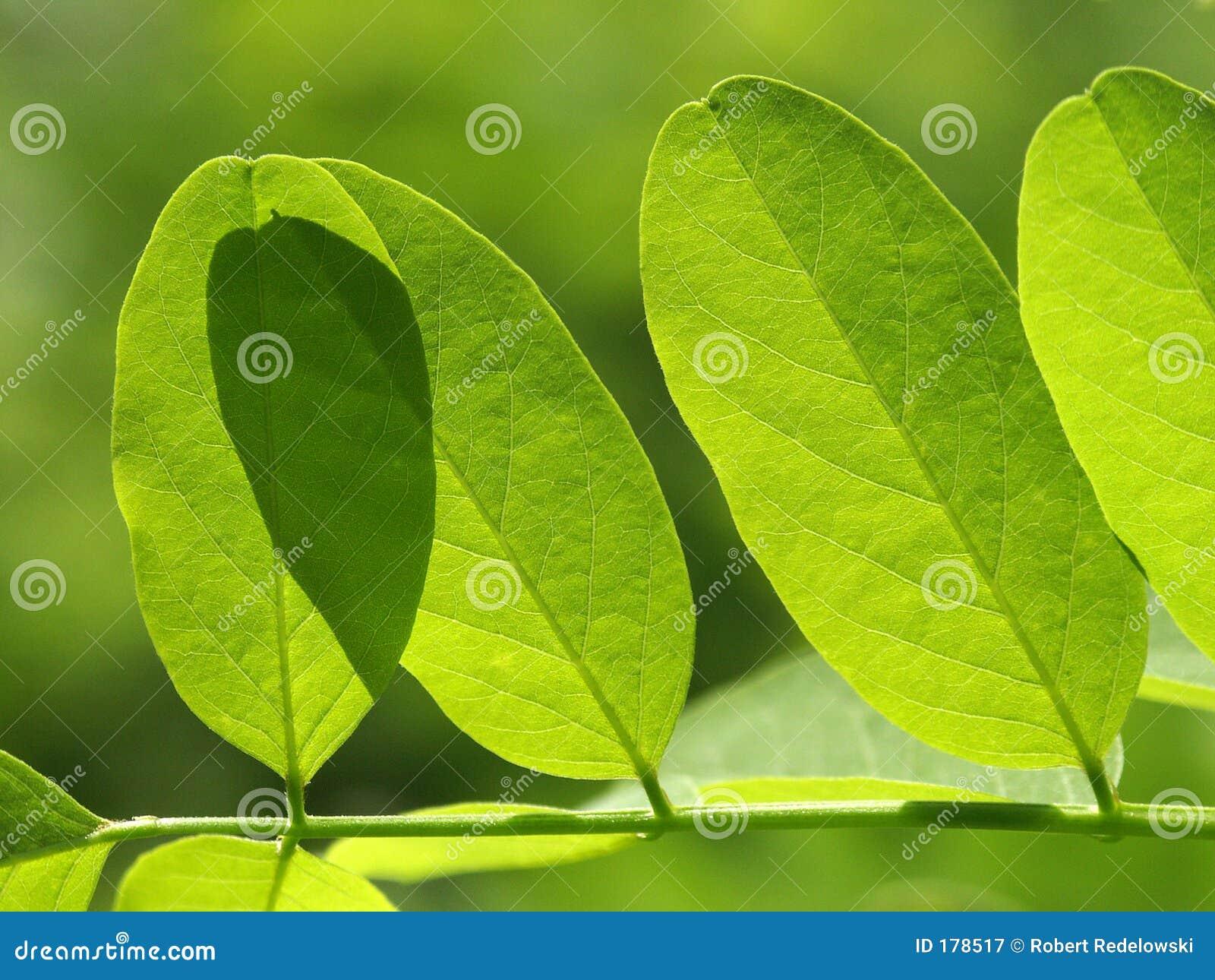 金合欢的叶子