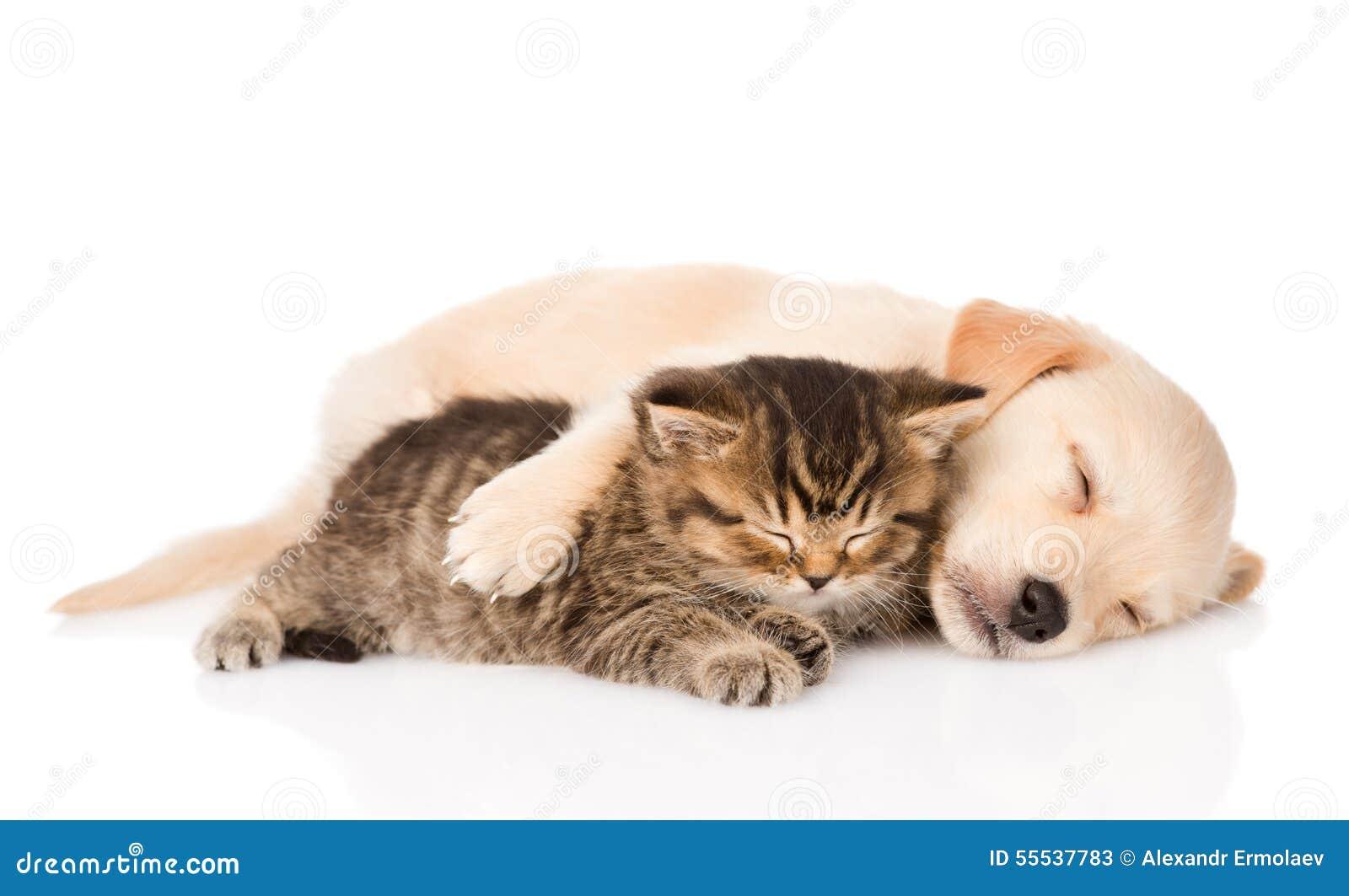 小色狗和猫交配_金毛猎犬的小狗和一起睡觉英国的猫查出库存图片.图片包括有