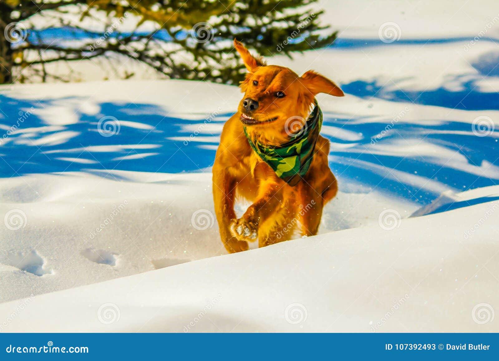 金毛猎犬跑通过雪的,亚伯大,加拿大