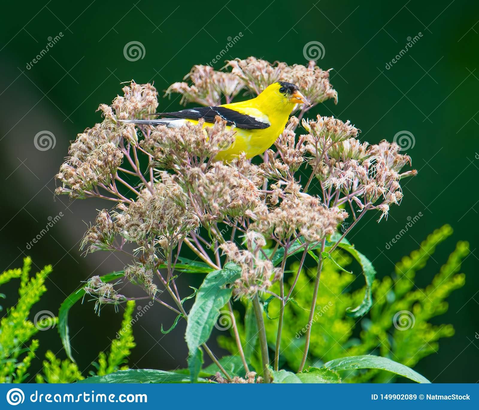 金翅雀被栖息的/休息的掩藏在野花在明尼苏达谷全国野生生物保护区-在夏天,但是仍然gr末端