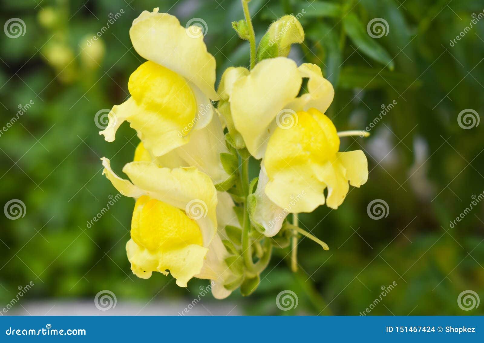 金鱼草属是一般叫作龙花或snapdragons的植物类由于花的想象的相似
