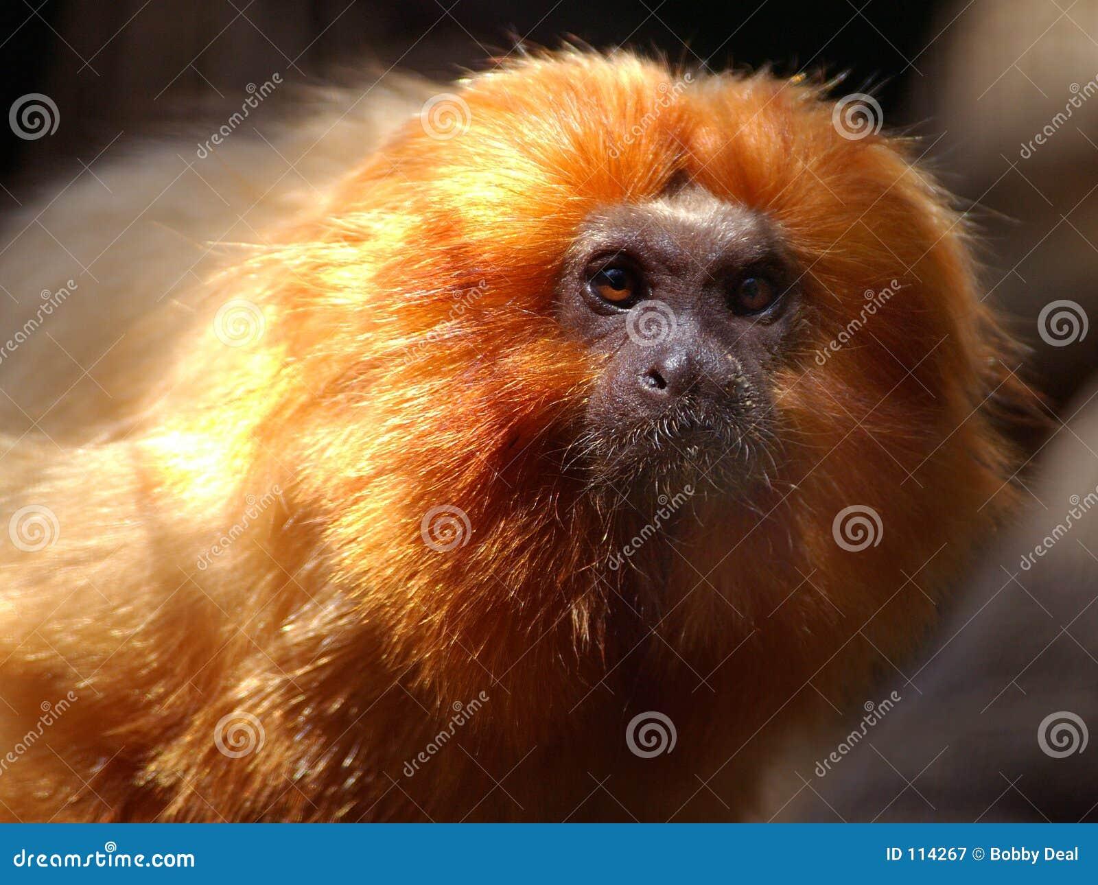 金黄狮子绢毛猴