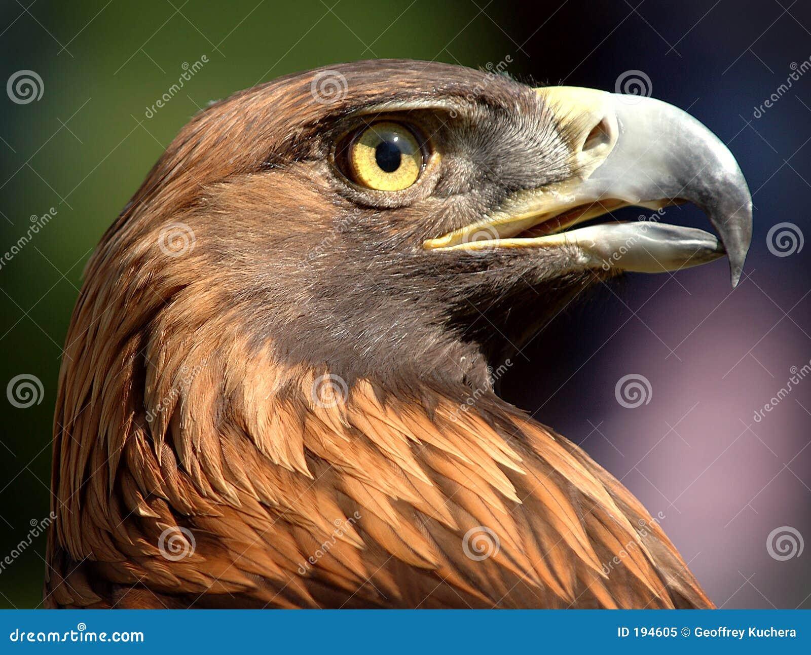 金黄的老鹰