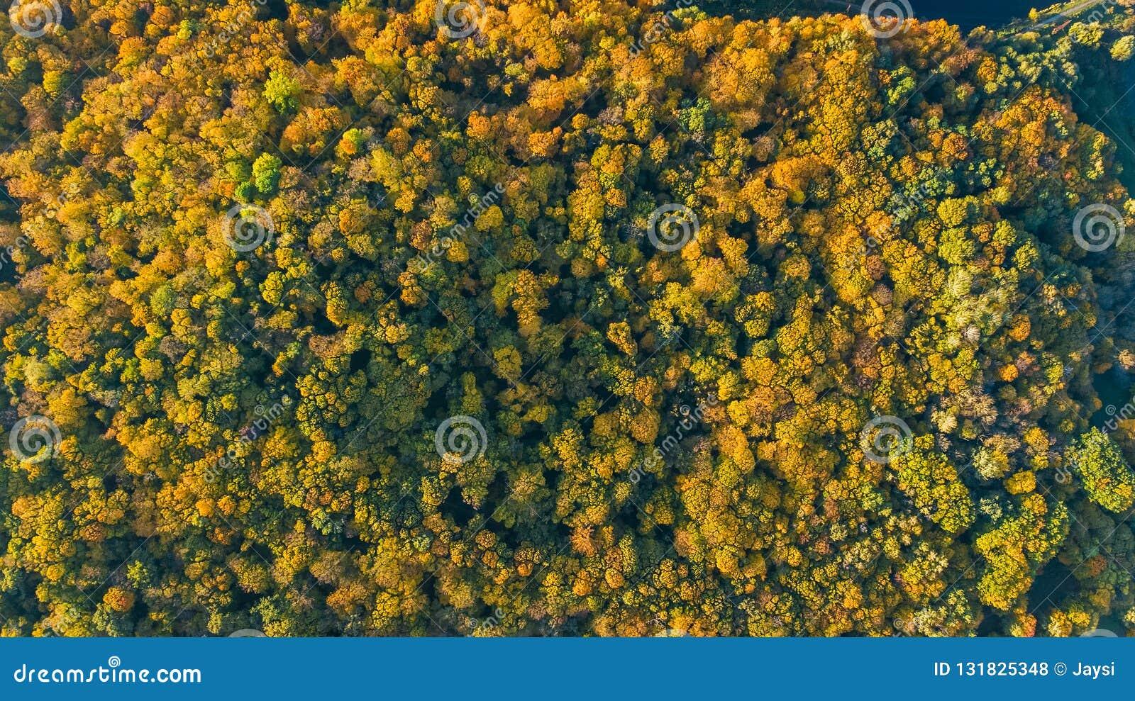 金黄秋天背景,美好的森林风景空中寄生虫视图与黄色树的从上面
