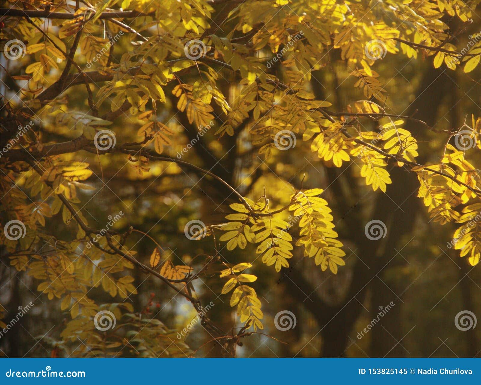 金黄花揪叶子