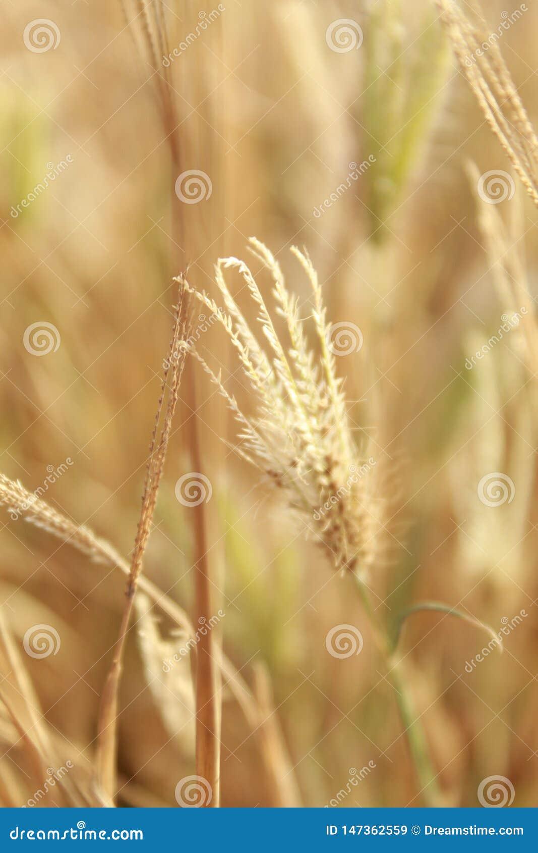 金黄草特写镜头有被弄脏的背景