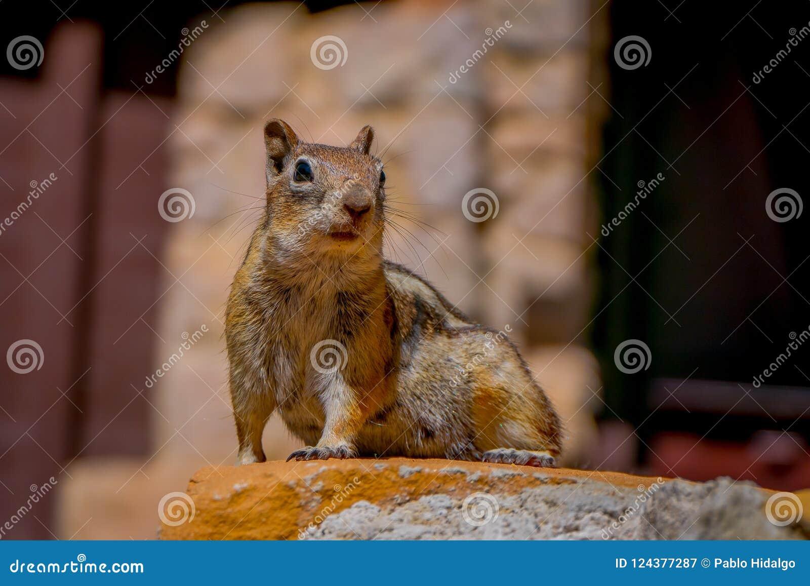 金黄被覆盖的地松鼠被看见在位于犹他的布莱斯峡谷国家公园
