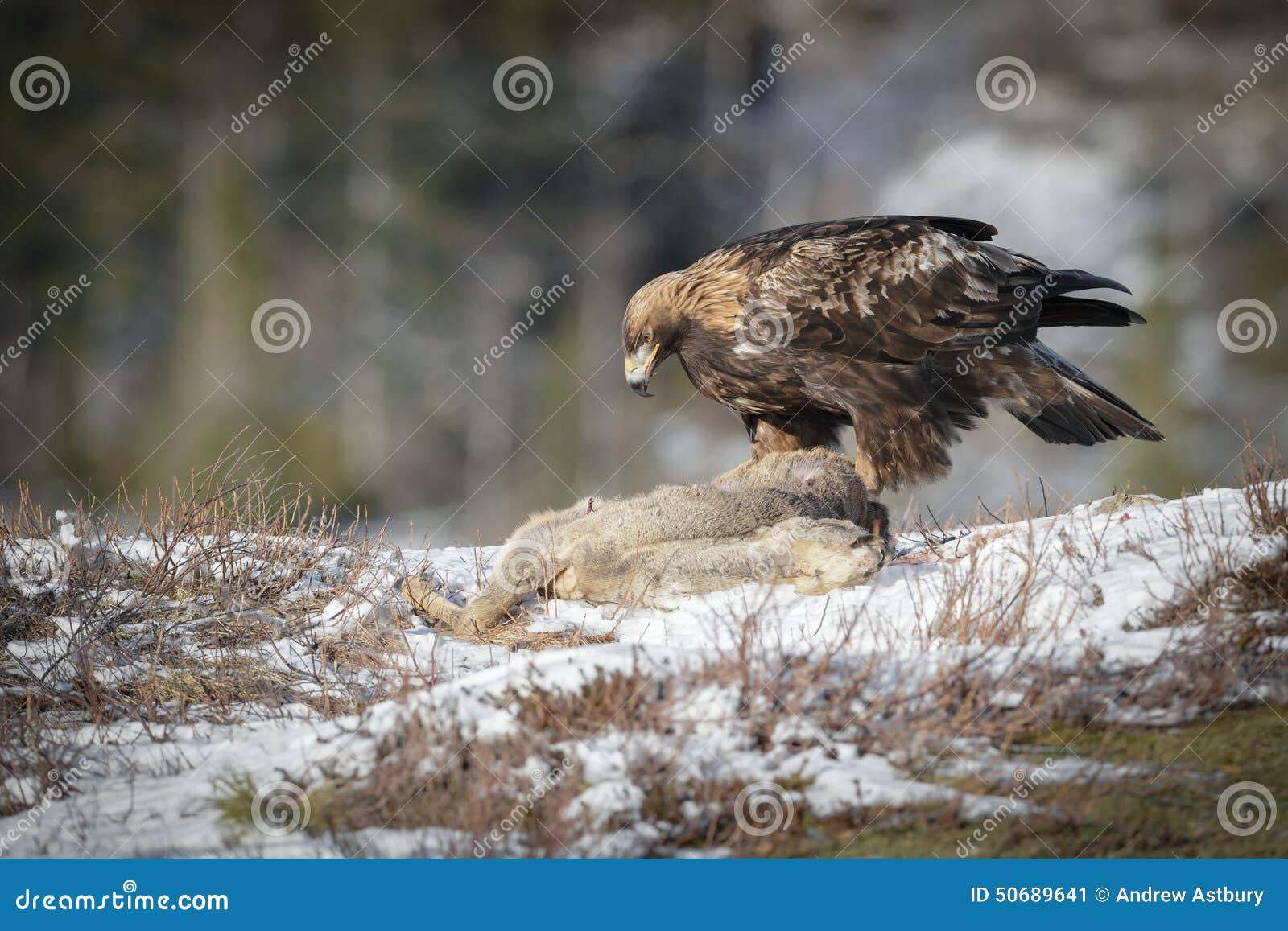 Download 金黄的老鹰 库存图片. 图片 包括有 掠夺行为, 双翼飞机, 冬天, apelike, 击败, 敌意, 猛禽 - 50689641