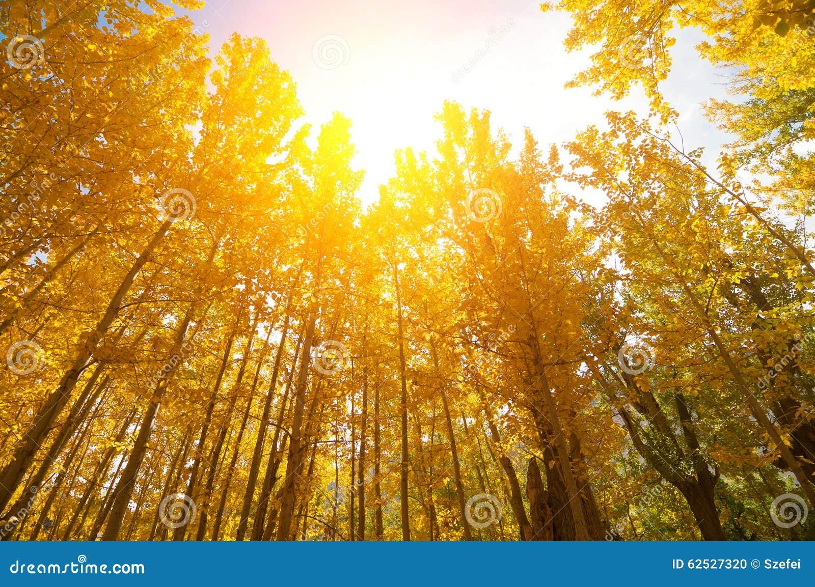 金黄秋天亚斯本树