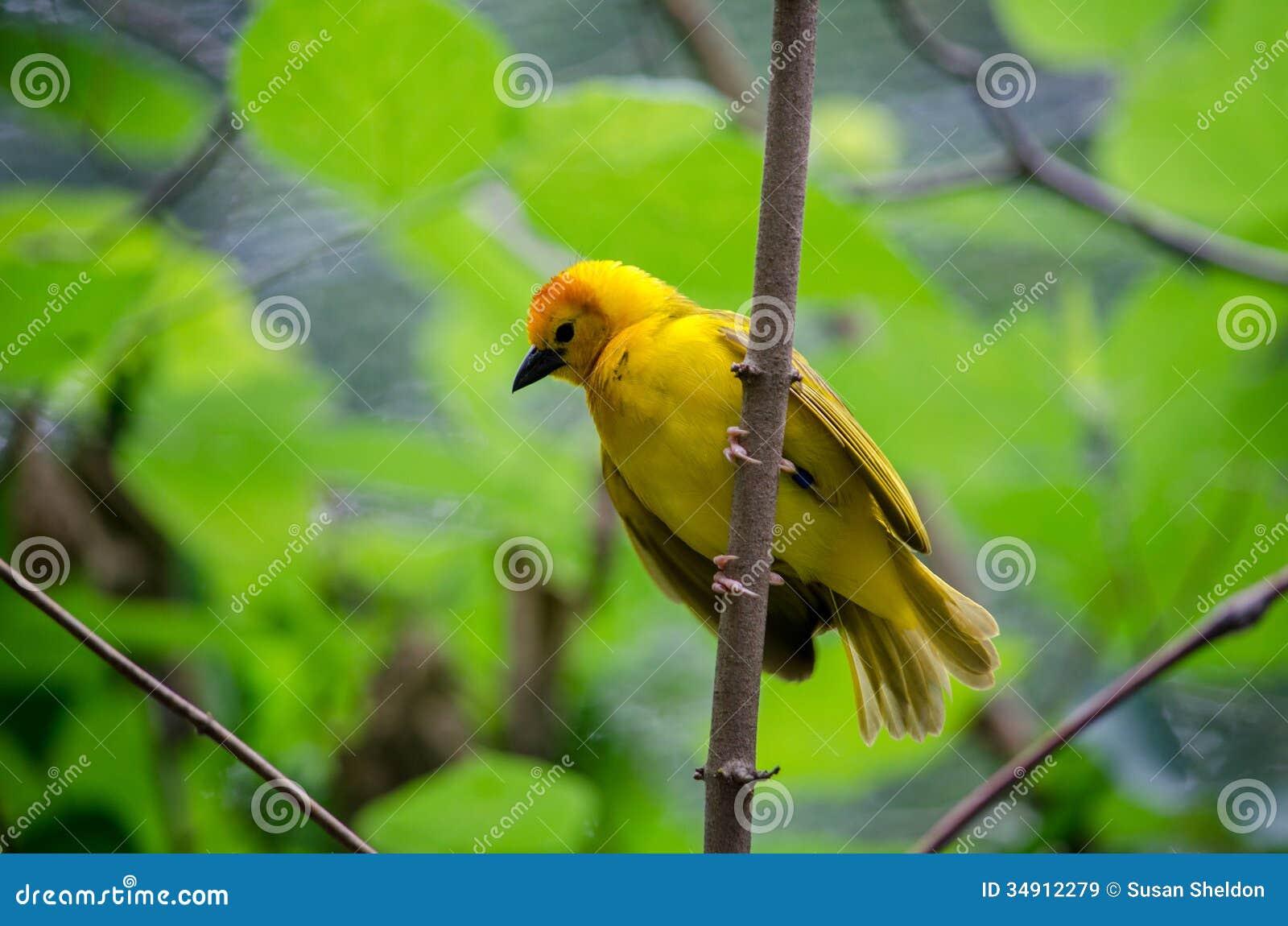 金黄taveta织布工鸟种类