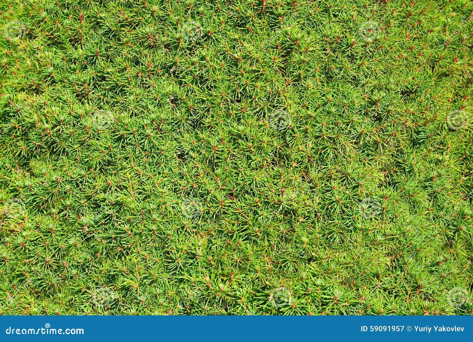 针叶树植物,纹理图片