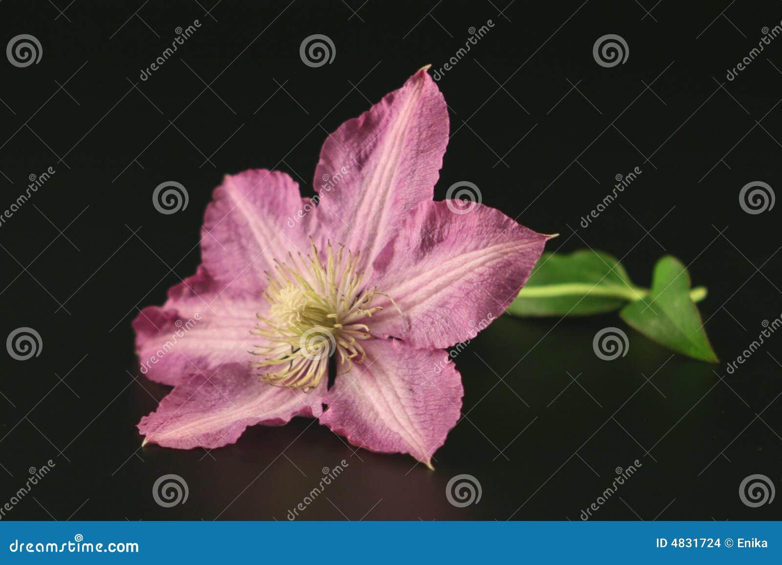 铁线莲属花