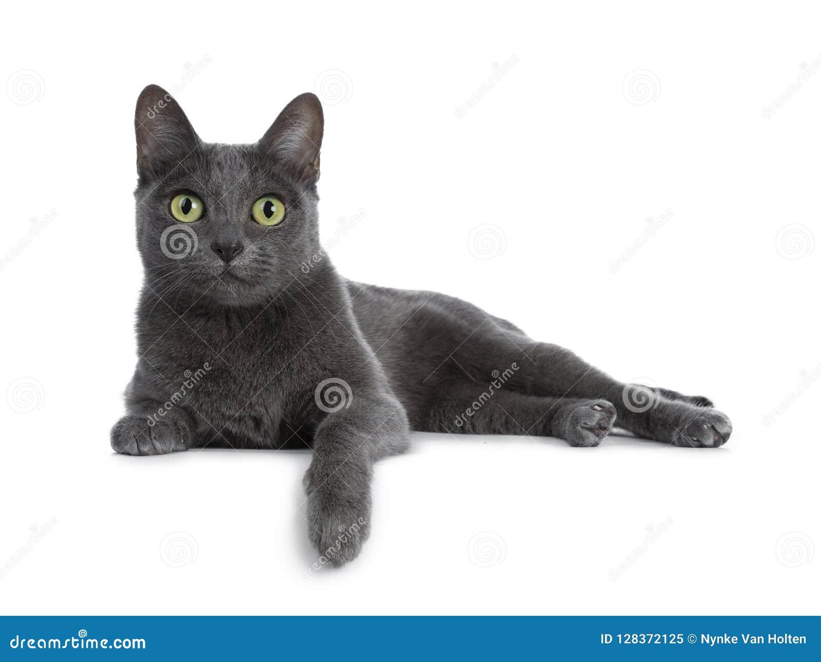 银打翻了蓝色成人呵叻猫,隔绝在白色背景