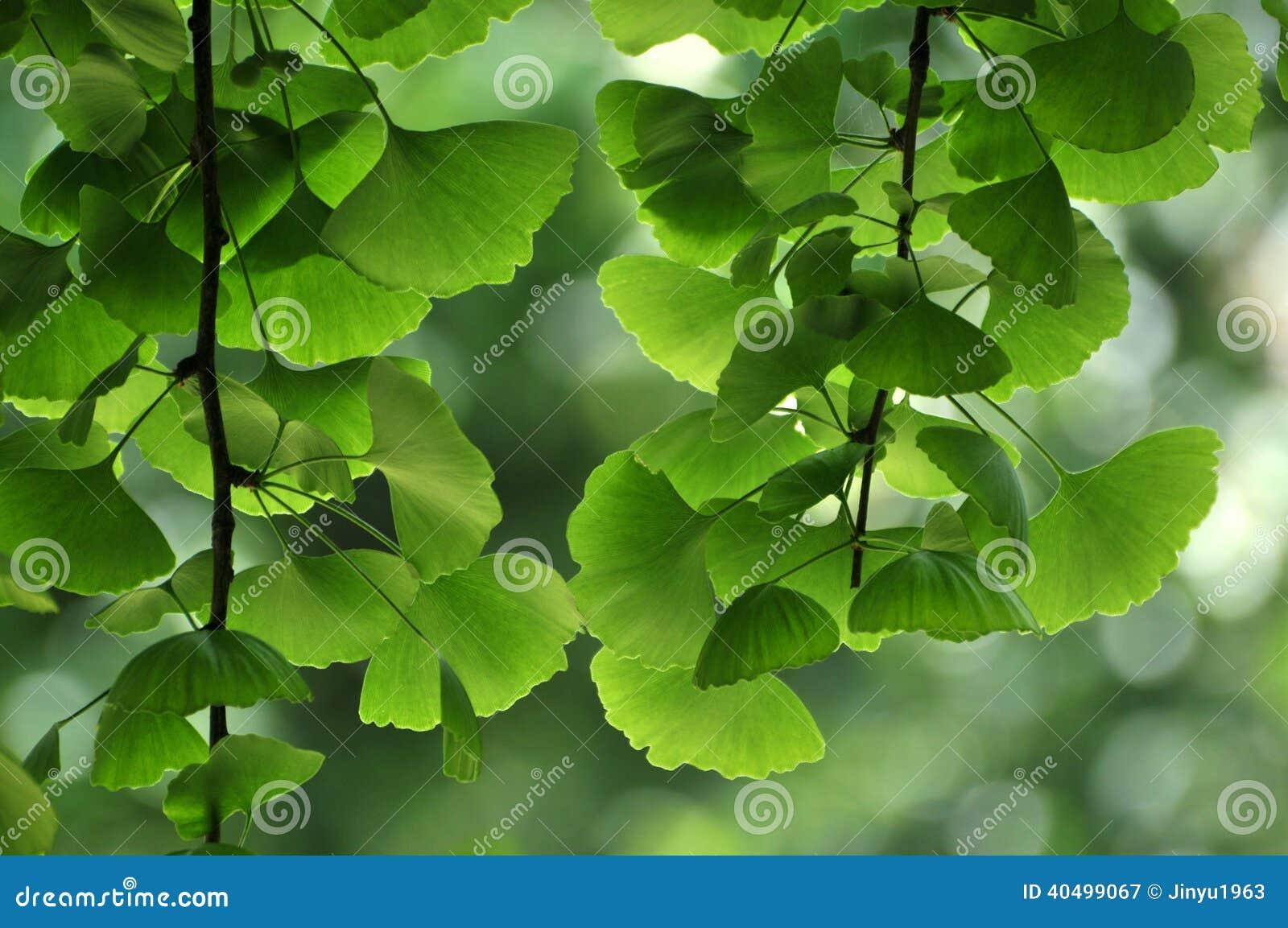 银杏树叶子在春天.图片