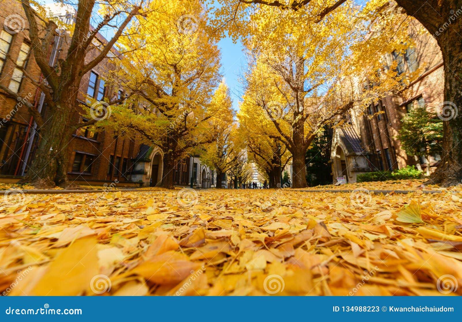 银杏树在路,秋天季节离开在日本