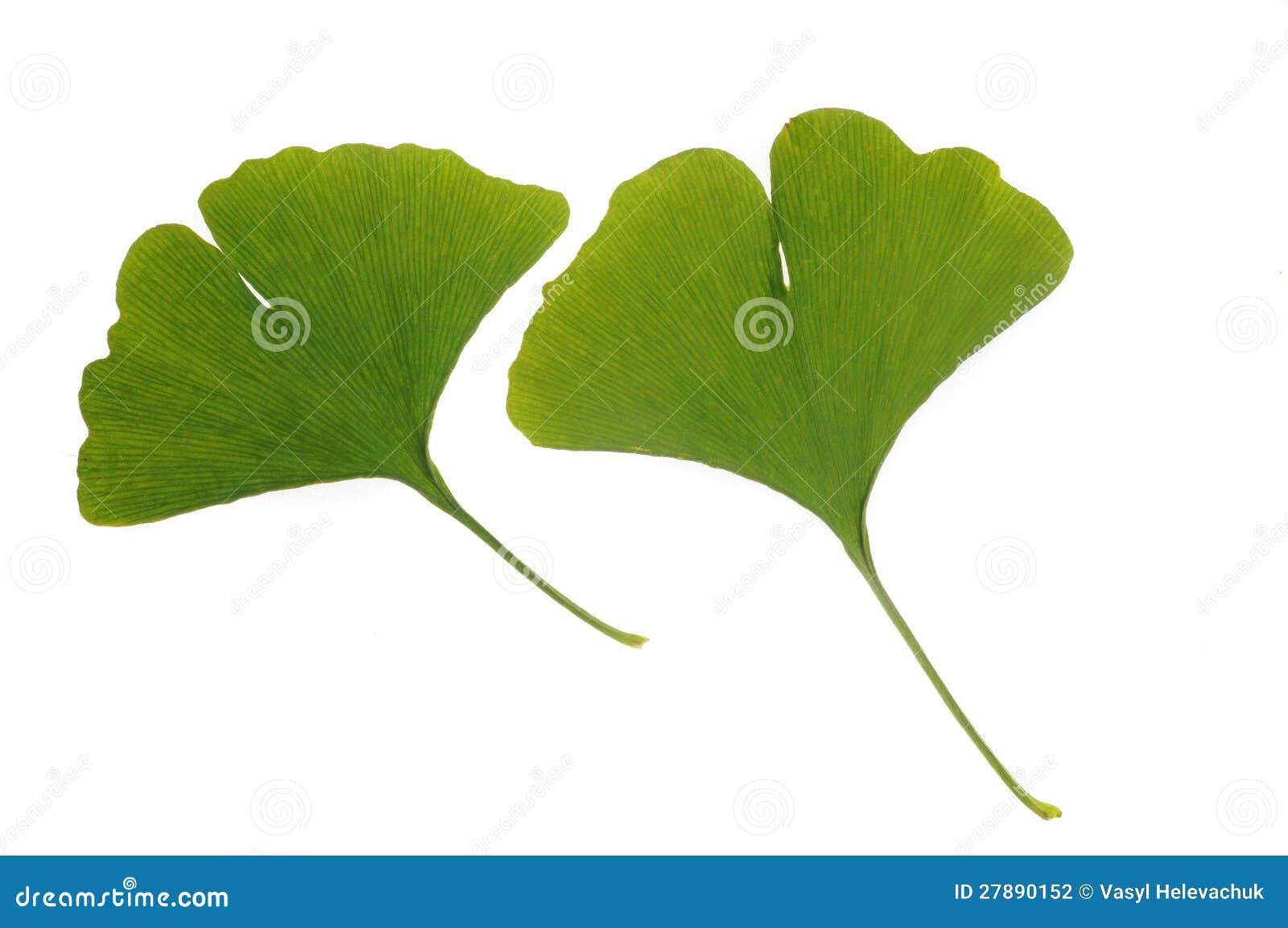 银杏树绿色叶子