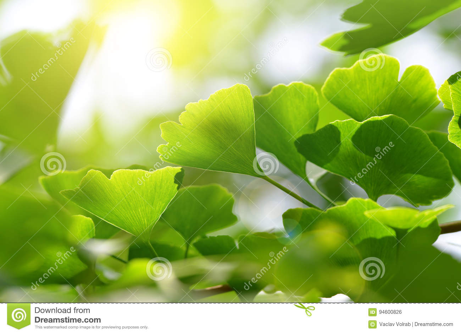 银杏树biloba叶子