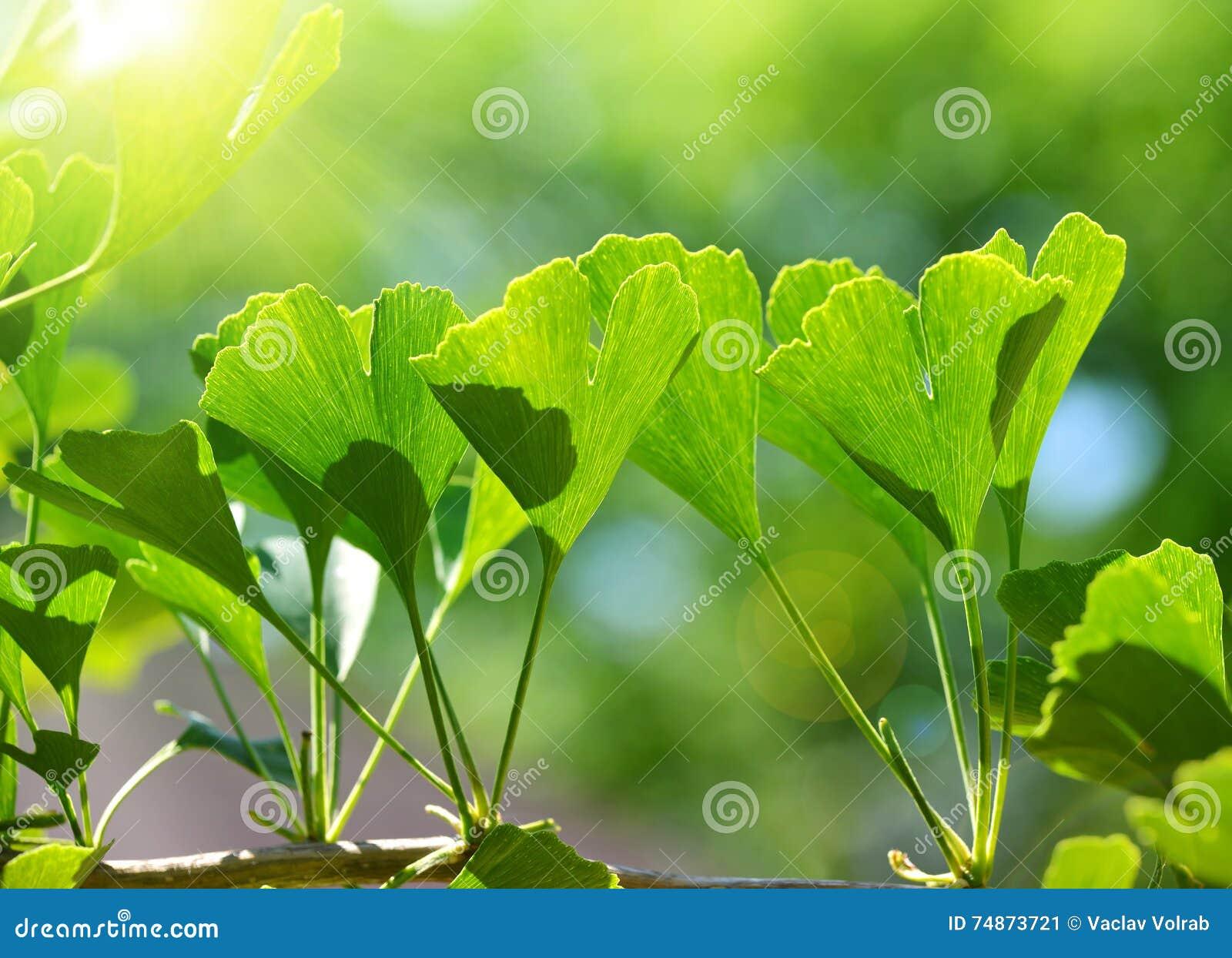 银杏树Biloba绿色叶子