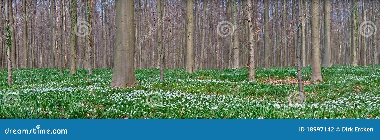 银莲花属森林春天空白野花木头