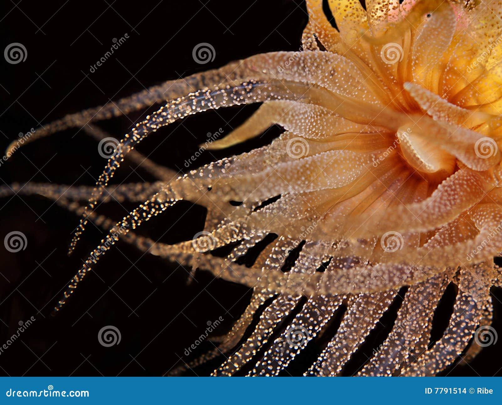 银莲花属海运黄色