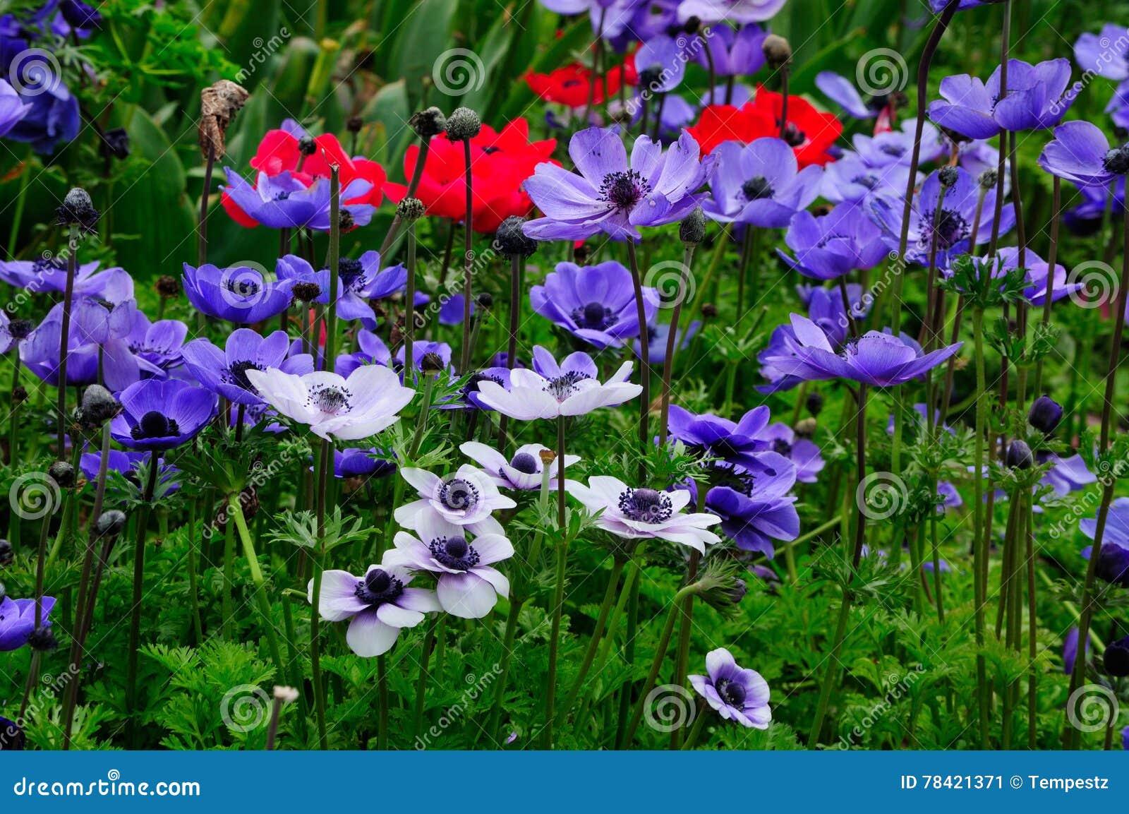 银莲花属花的领域