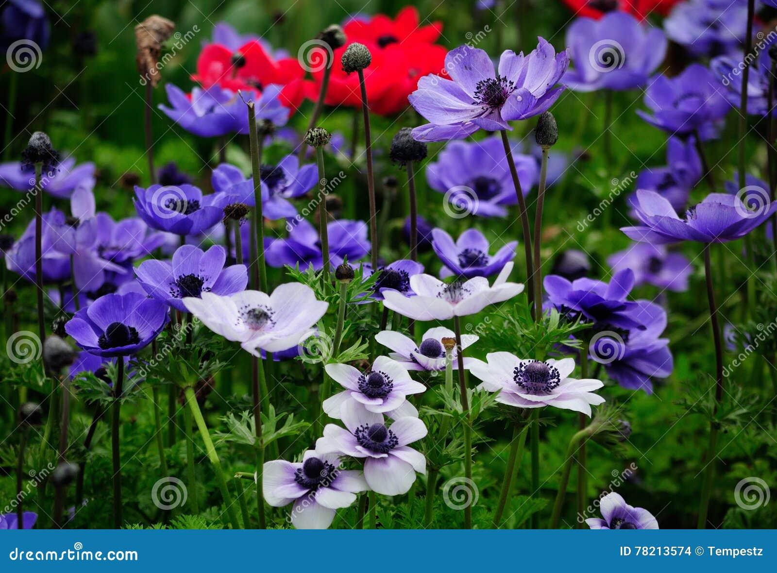 银莲花属花