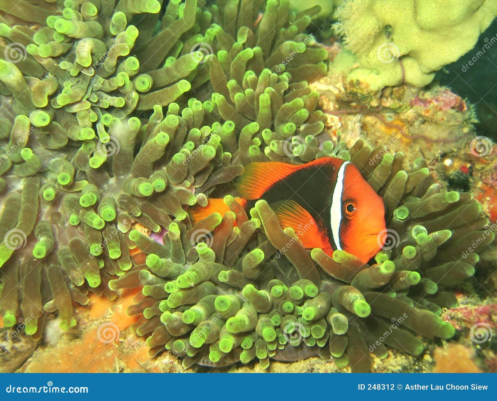 银莲花属clownfish珊瑚