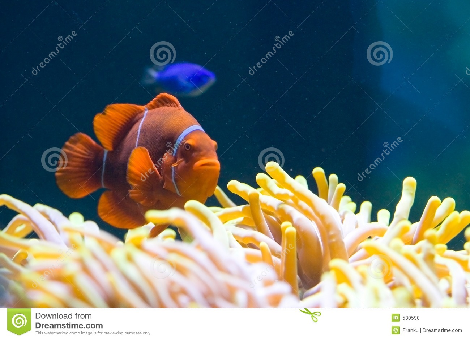 Download 银莲花属clownfish 库存照片. 图片 包括有 热带, 坦克, 礁石, 镶边, 共生, 本质, 空白, 五颜六色 - 530590