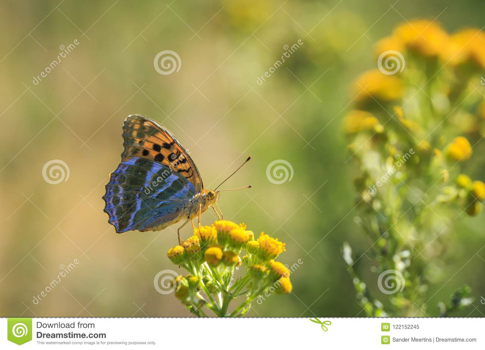 银被洗涤的贝母蝴蝶, Argynnis paphia,特写镜头