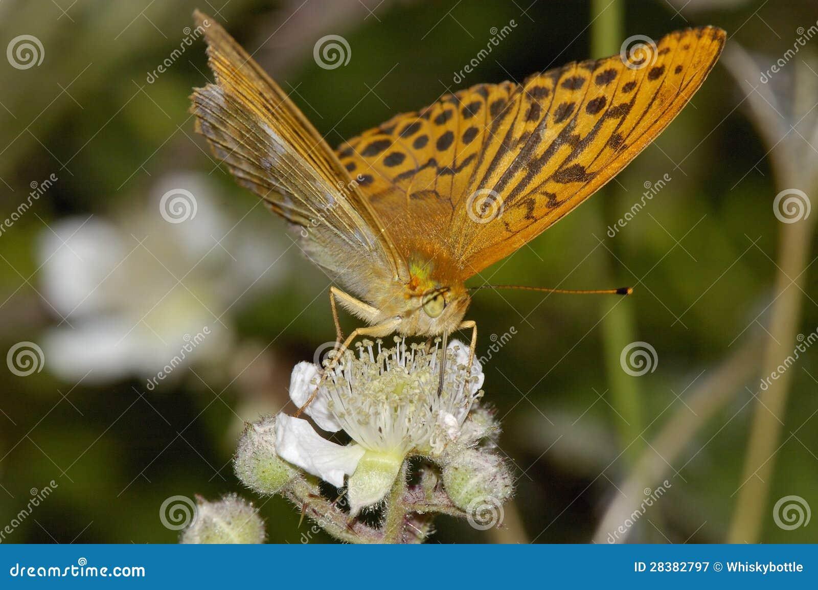 银被洗涤的贝母蝴蝶
