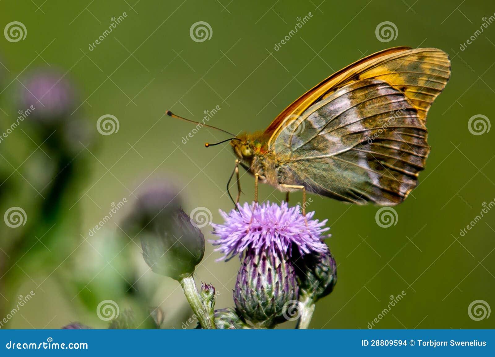 银被洗涤的贝母(Argynnis paphia)