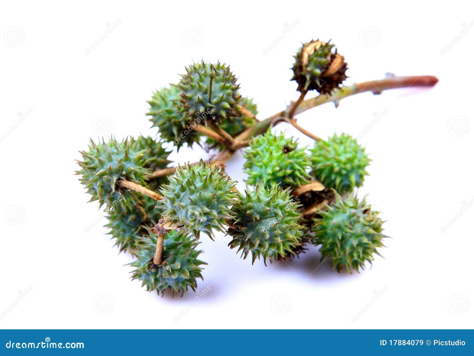 铸工果类植物