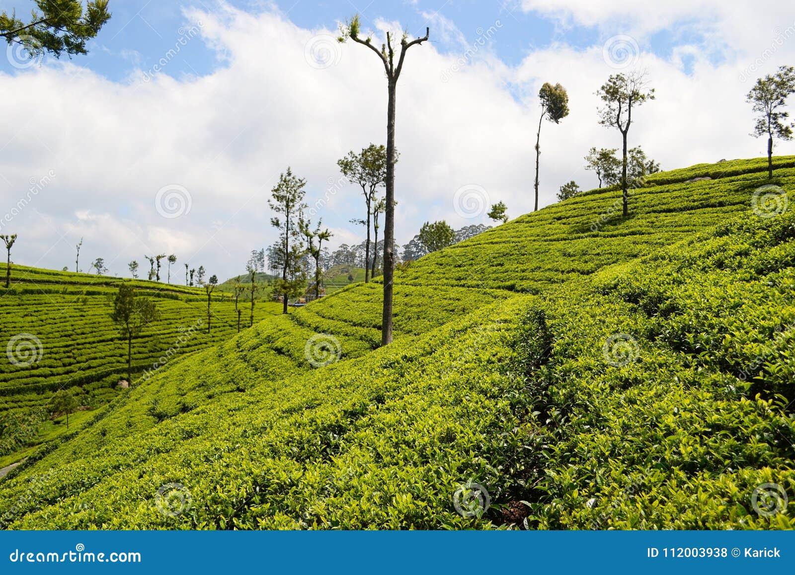 锡兰茶的绿色种植园