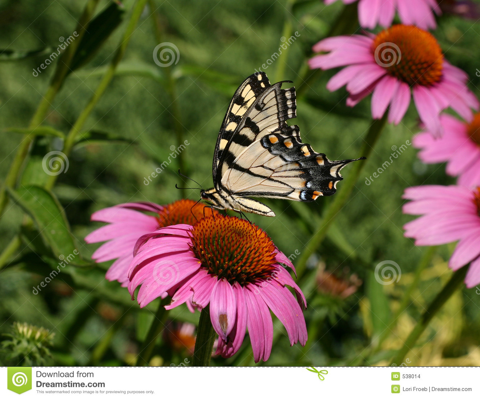 Download 锥体花swallowtail 库存照片. 图片 包括有 昆虫, 象鼻, 授粉, 雏菊, 花粉, coneflower - 538014