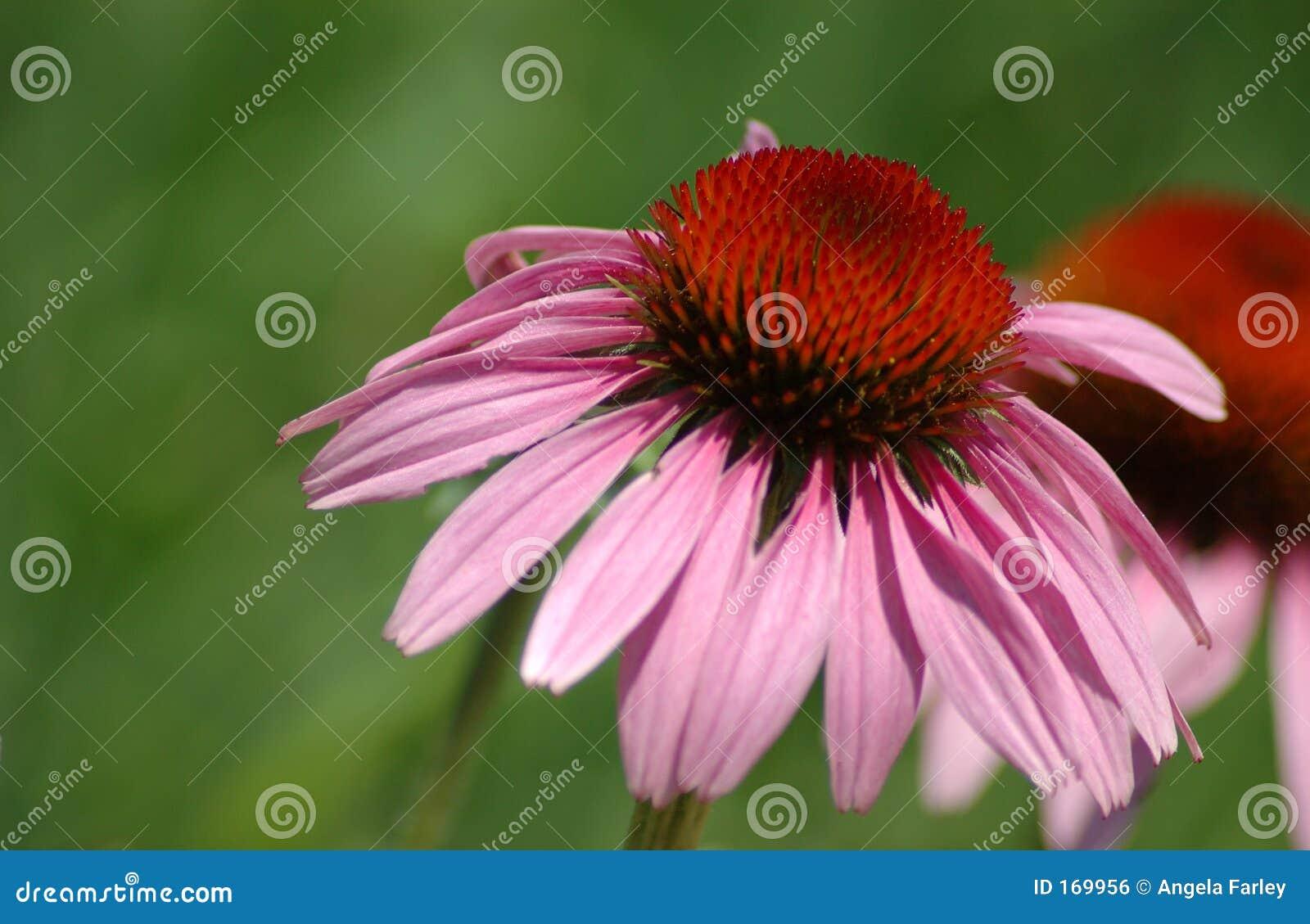 锥体echinaccea花