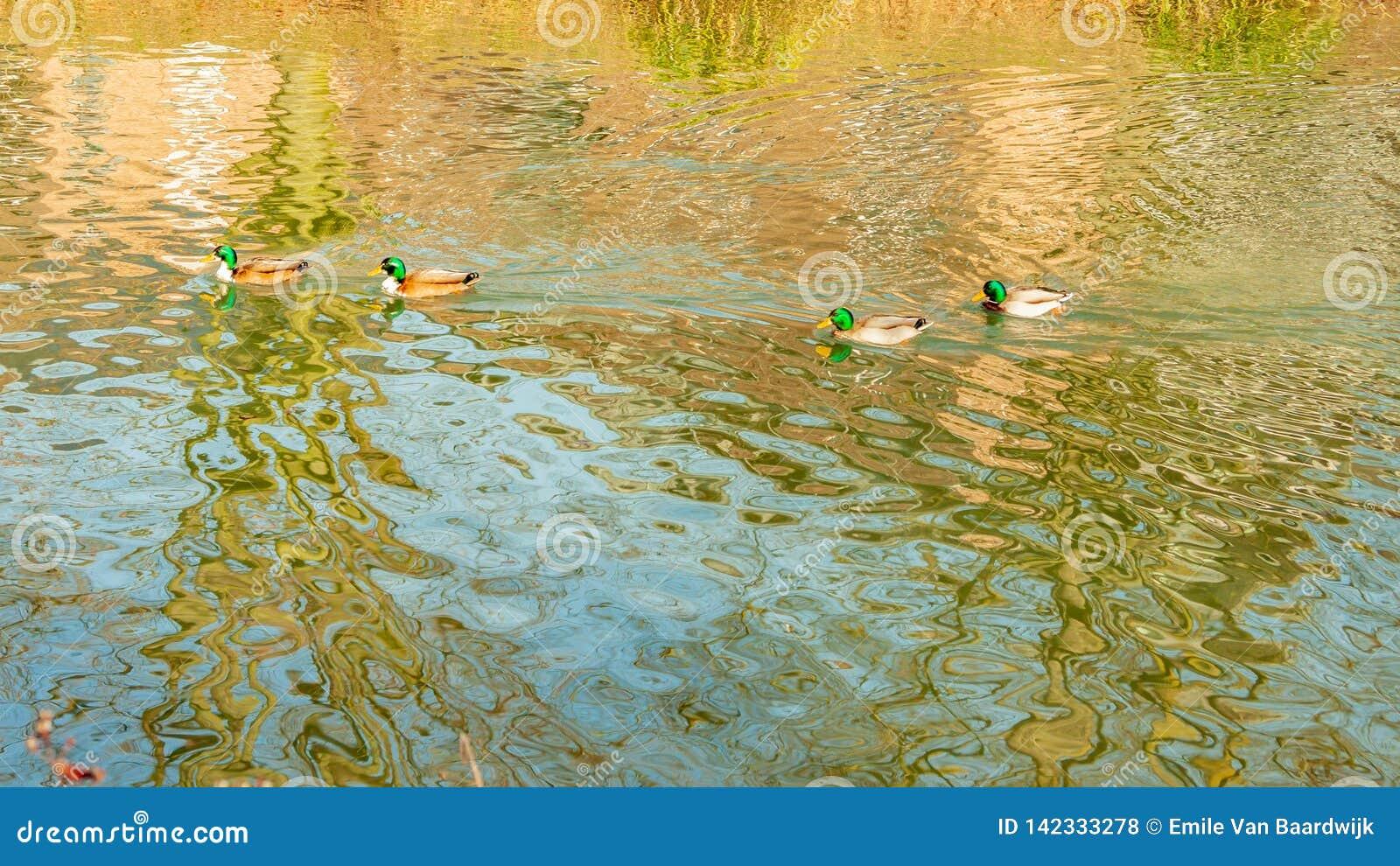 镇静地游泳在一个池塘的四只野鸭鸭子用透明的水
