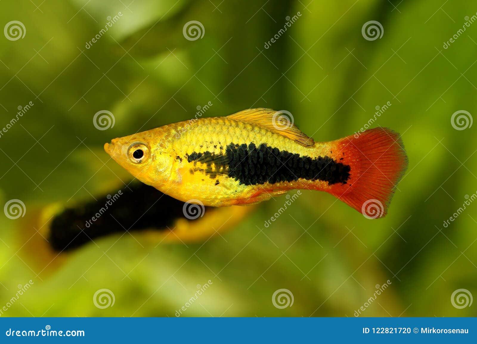 镶有钻石的旭日形首饰的无尾礼服新月鱼男性Xiphophorus maculatus热带水族馆鱼