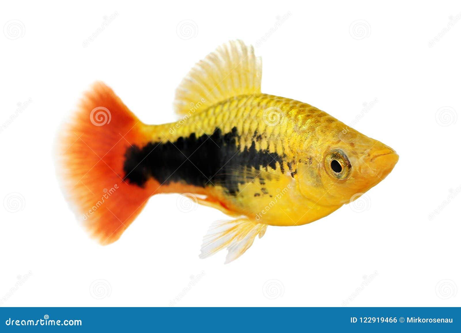 镶有钻石的旭日形首饰的无尾礼服新月鱼男性Xiphophorus variatus热带水族馆鱼