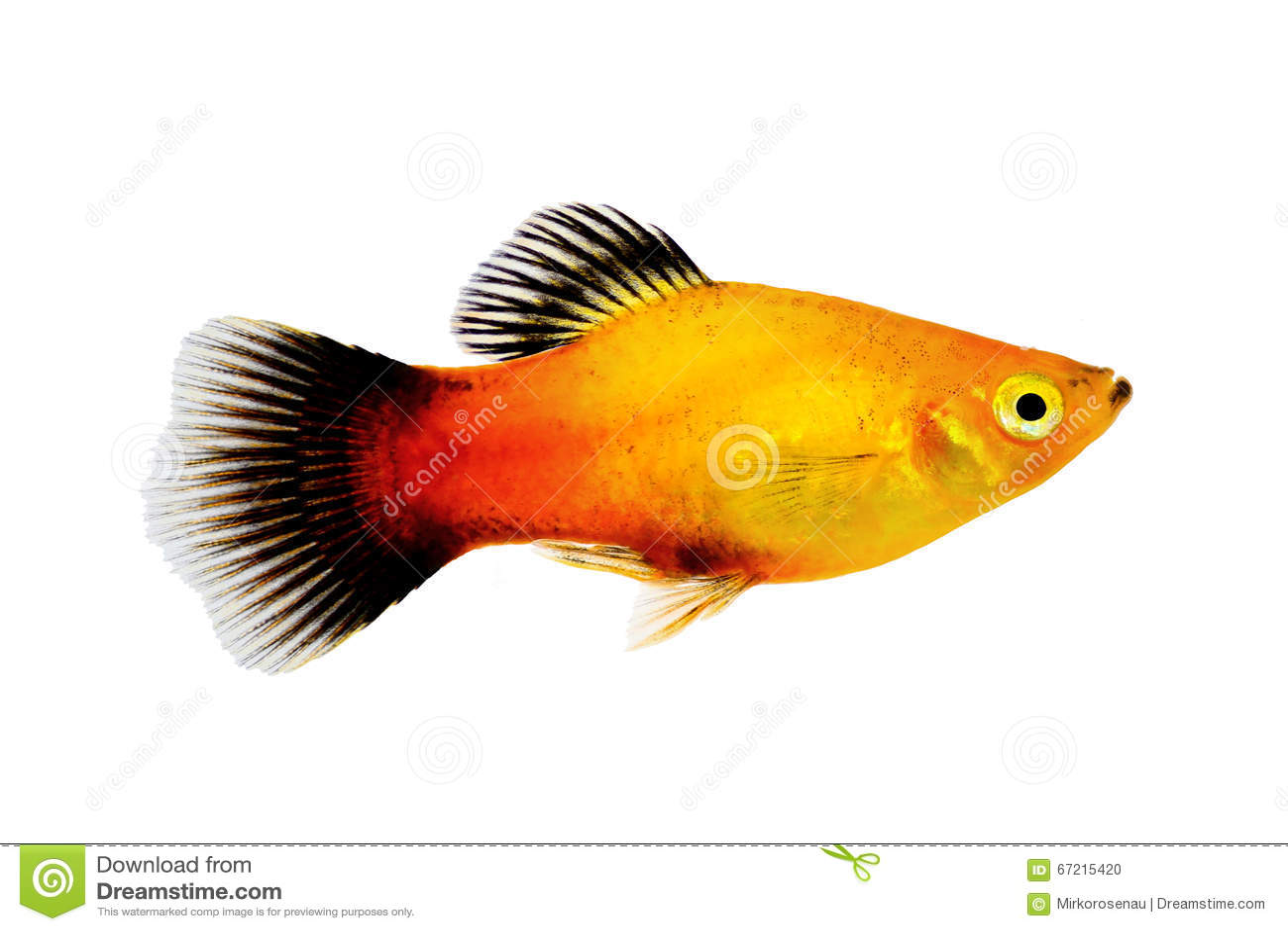 镶有钻石的旭日形首饰的新月鱼男性Xiphophorus maculatus热带水族馆鱼