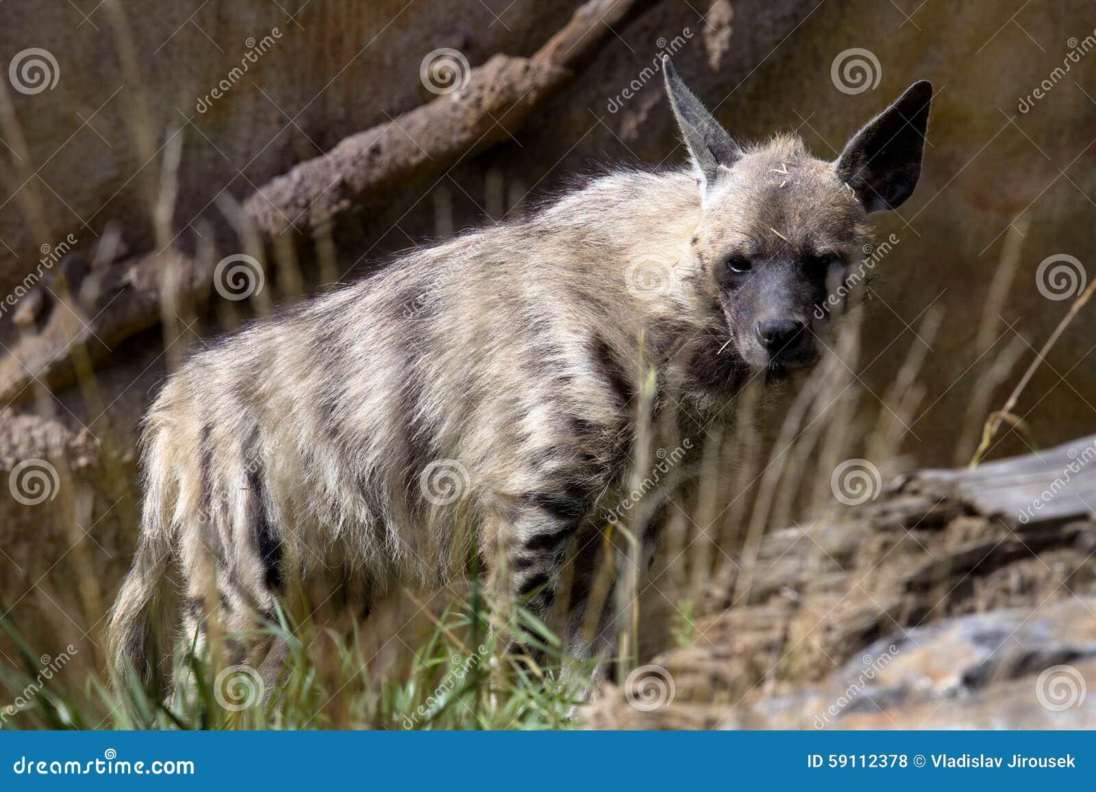 镶边鬣狗Hyaena Hyaena,观察周围