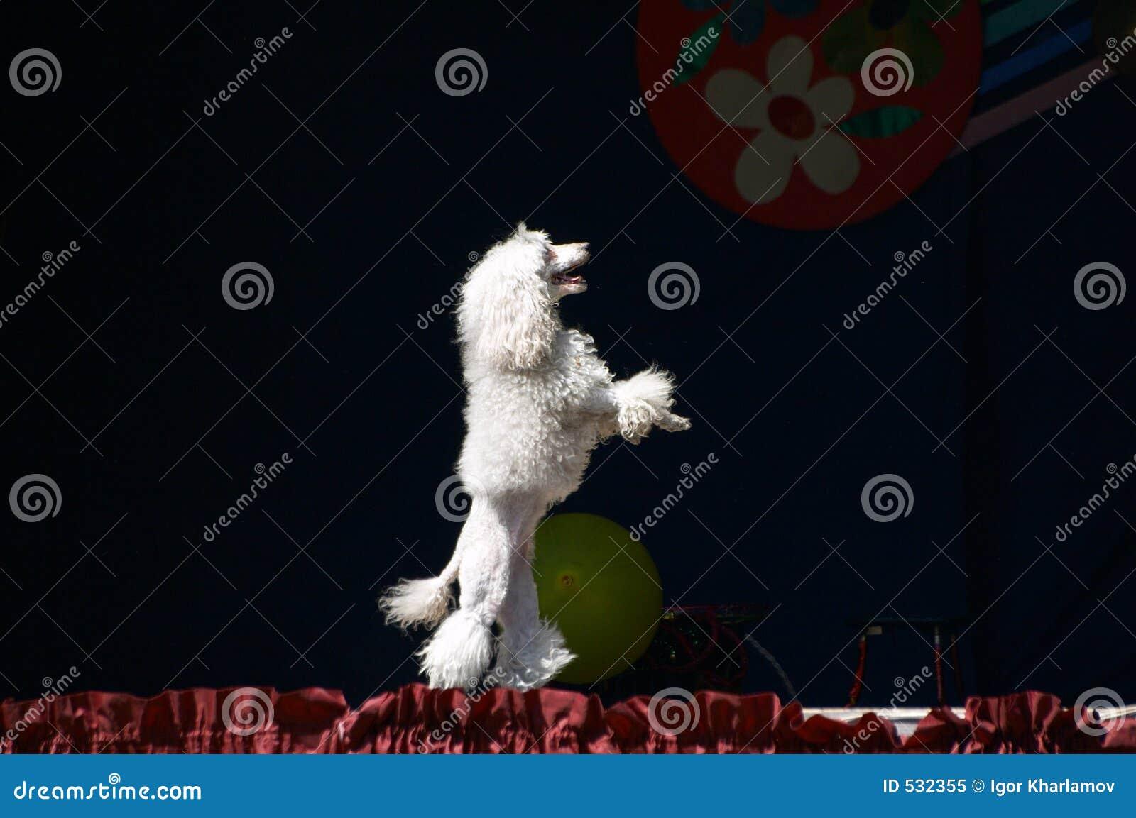 Download 长卷毛狗白色 库存图片. 图片 包括有 交配动物者, 长卷毛狗, 忠诚度, 守纪, 显示, 心房, 小狗, 关闭 - 532355