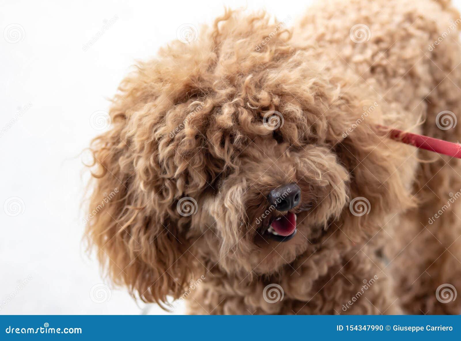 长卷毛狗:气质FCI分类说长卷毛狗的字符是那伴侣狗,安置它在第9