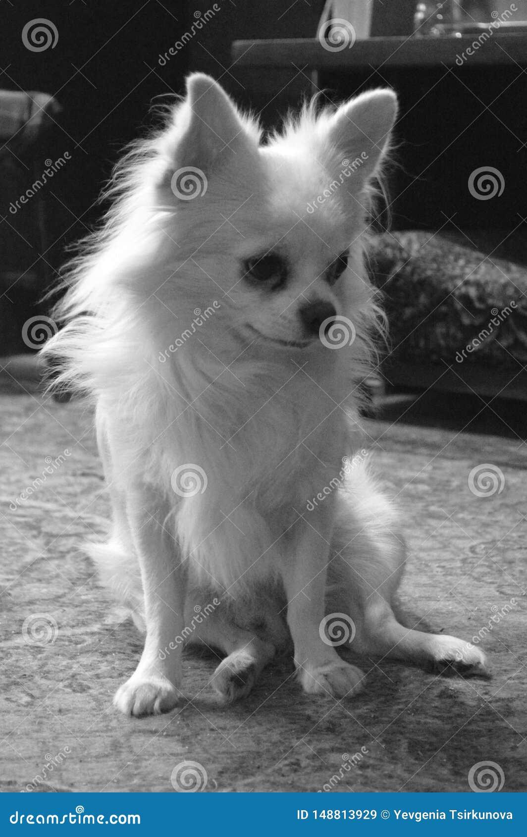 长发狗奇瓦瓦狗品种的黑白画象